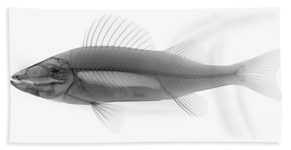 Xray Beach Towel featuring the photograph An X-ray Of Yellow Perch by Ted Kinsman