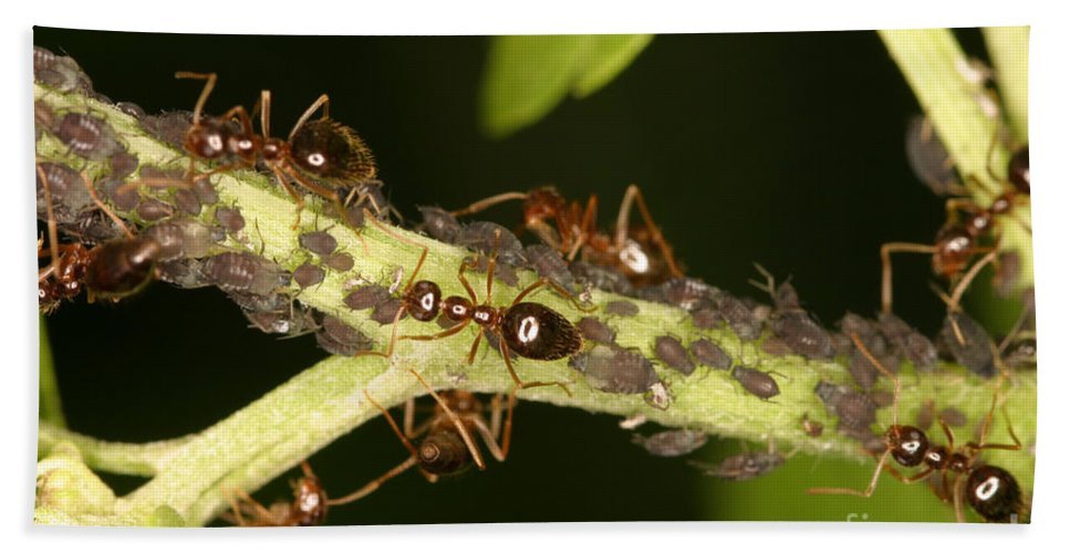 Animal Beach Towel featuring the photograph Ants Tending Aphids by Ted Kinsman
