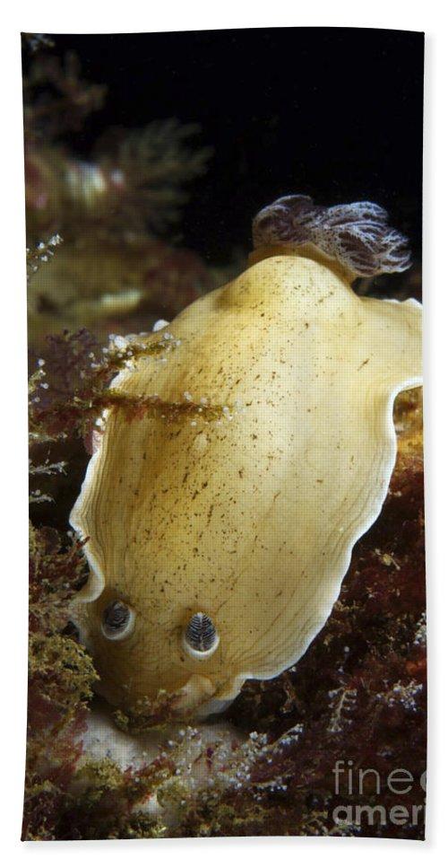 Australia Beach Towel featuring the photograph Aphelodoris Varia Sea Slug Nudibranch by Mathieu Meur