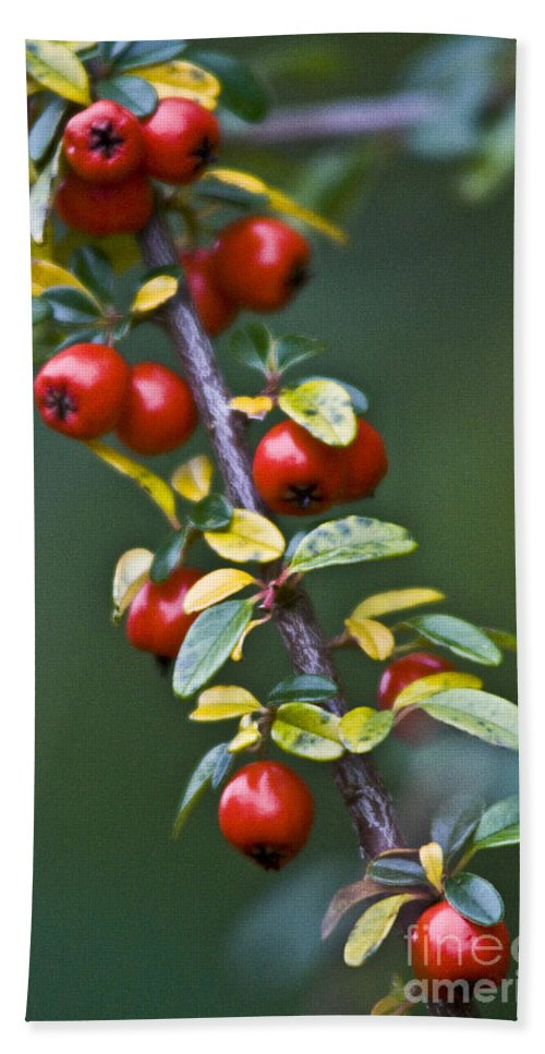 Nature Beach Towel featuring the photograph Autumn Berries by Heiko Koehrer-Wagner