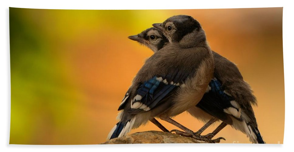 Blue Jay Beach Towel featuring the photograph Baby Jays by James Anderson