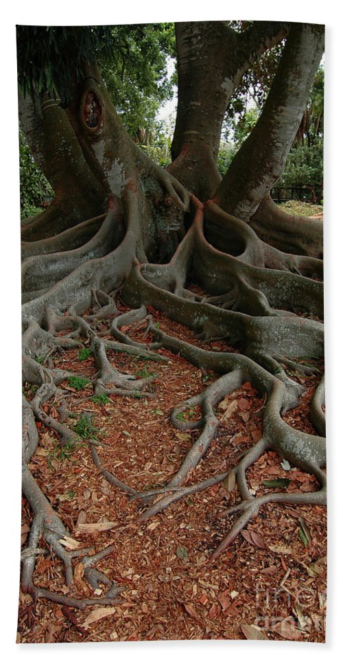 Banyan Tree Beach Towel featuring the photograph Banyan Tree And Roots In Sarasota Florida by Mike Nellums