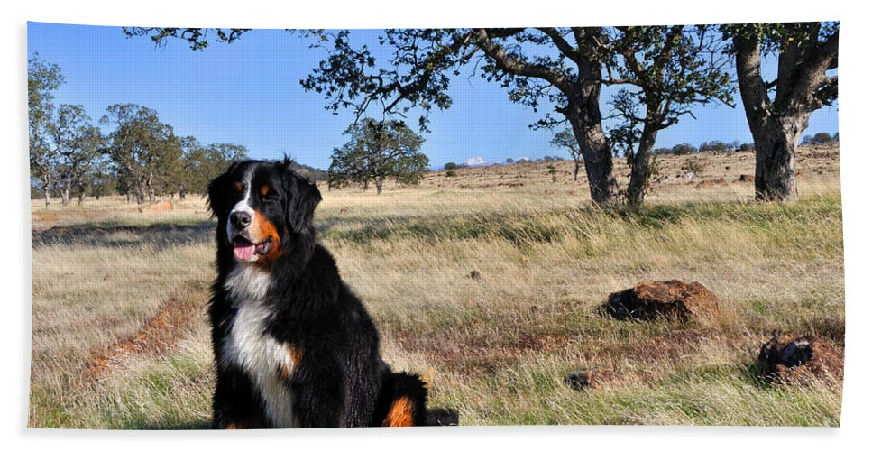 Autumn Beach Towel featuring the photograph Bernese Mountain Dog In California Chaparral by Gary Whitton