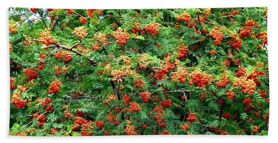 Mountain Ash Beach Towel featuring the photograph Berries In Profusion by Will Borden