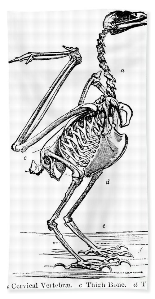 19th Century Beach Towel featuring the photograph Bird Skeleton by Granger