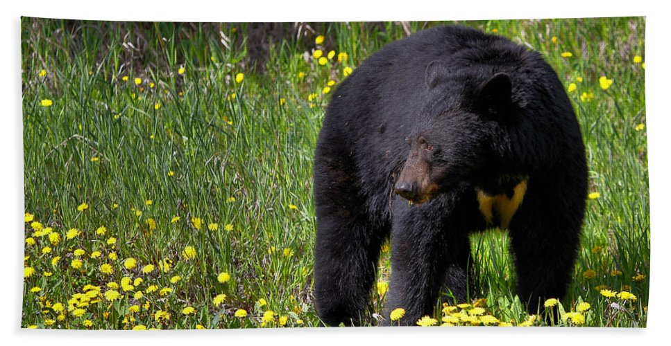 Bear Beach Towel featuring the photograph Black Bear by James Anderson