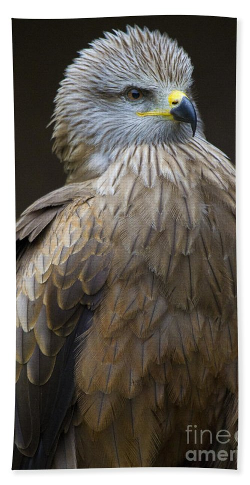 Bird Of Prey Beach Towel featuring the photograph Black Kite 4 by Heiko Koehrer-Wagner