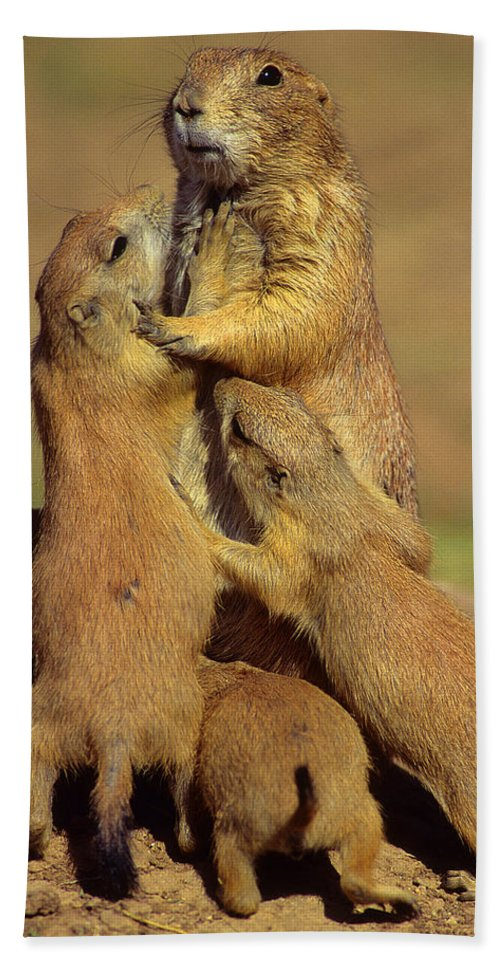 Family Beach Towel featuring the photograph Black-tailed Prairie Dogs by Tony Beck