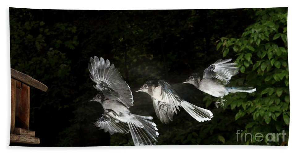 Animal Beach Towel featuring the photograph Blue Jay In Flight by Ted Kinsman