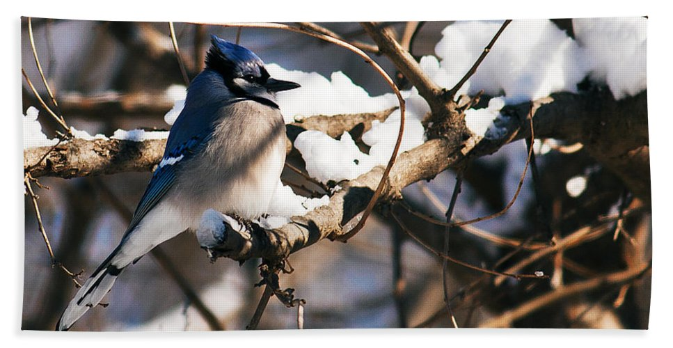 Heron Haven Beach Towel featuring the photograph Blue Jay Staying Warm by Edward Peterson