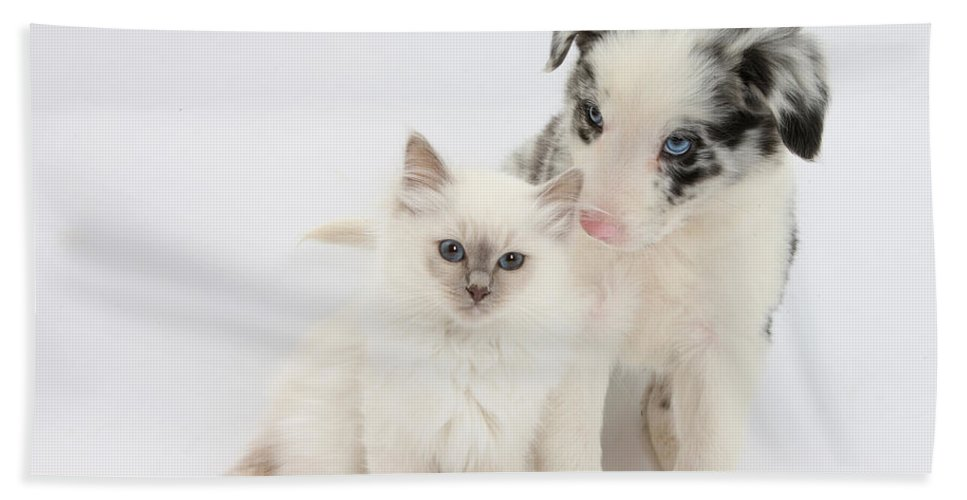 Animal Beach Towel featuring the photograph Blue-point Kitten And Border Collie by Mark Taylor