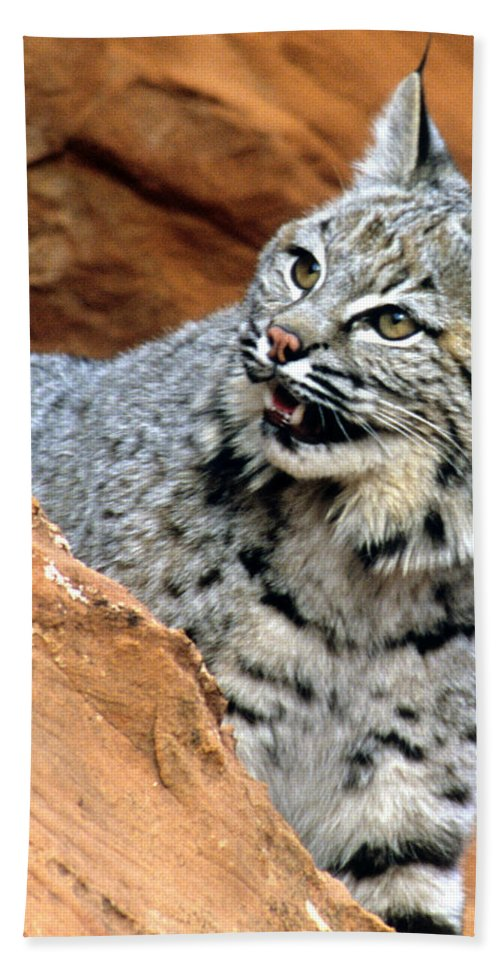 Bobcat Beach Towel featuring the photograph Bobcat With A Smile by Larry Allan