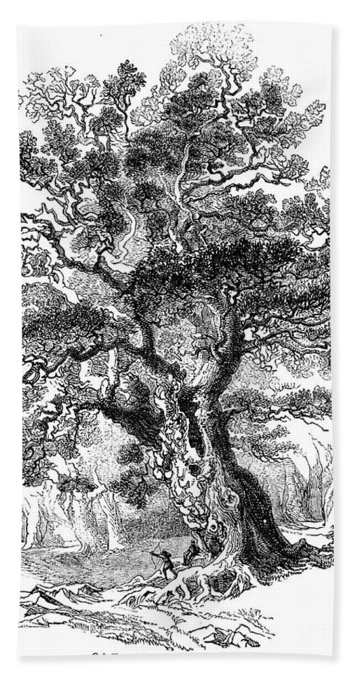 19th Century Beach Towel featuring the photograph Botany: Oak Tree by Granger