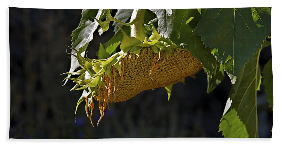 Sunflower Beach Towel featuring the photograph Bowed Head by Phyllis Denton