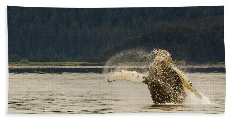 Alaska Juneau Beach Towel featuring the photograph Breaching Humpback by Darcy Michaelchuk