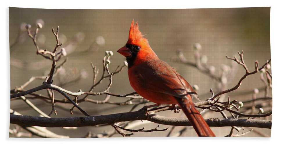 Nature Beach Towel featuring the photograph Bright Bold - Cardinal by Travis Truelove