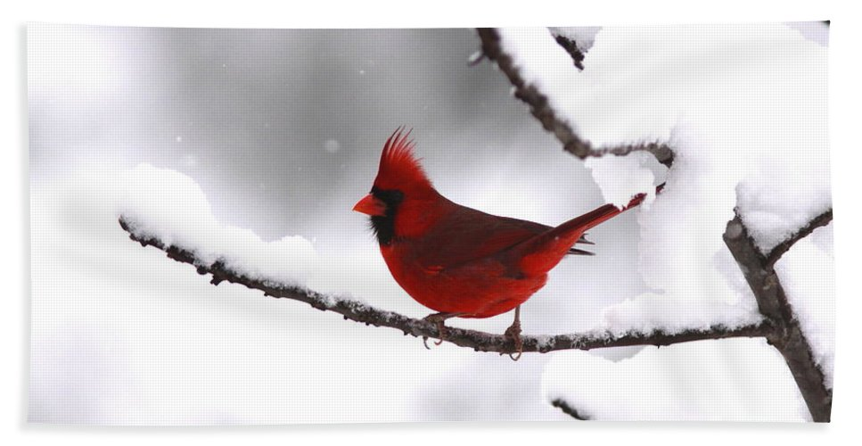 Cardinal Beach Towel featuring the photograph Bright In The Snow - Cardinal by Travis Truelove