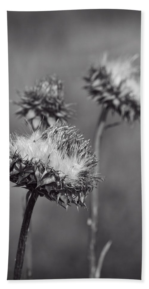 Carduus Nutans Beach Towel featuring the photograph Bristle Thistle In Black And White by Kathy Clark
