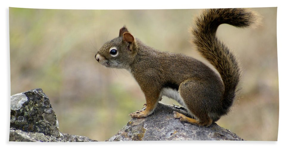 Squirrel Beach Towel featuring the photograph Brown Squirrel In Spokane by Ben Upham III