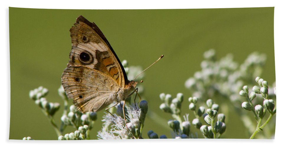 Junonia Coenia Beach Towel featuring the photograph Buckeye Butterfly And Lesser Snakeroot Wildflowers by Kathy Clark