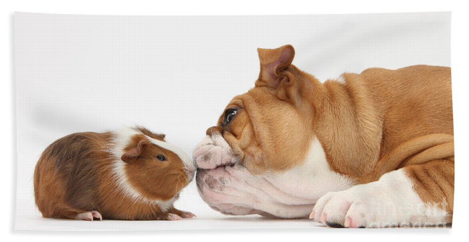 Animal Beach Towel featuring the photograph Bulldog & Guinea Pig by Mark Taylor