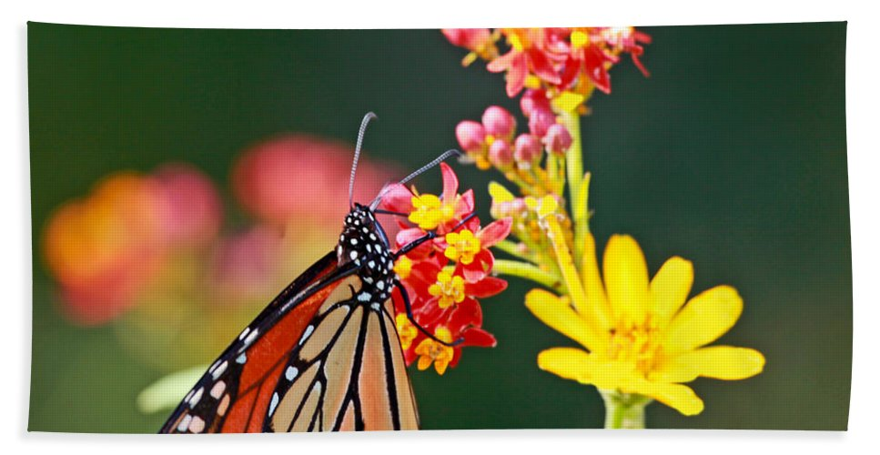 Butterfly Beach Towel featuring the photograph Butterfly Monarch On Lantana Flower by Luana K Perez