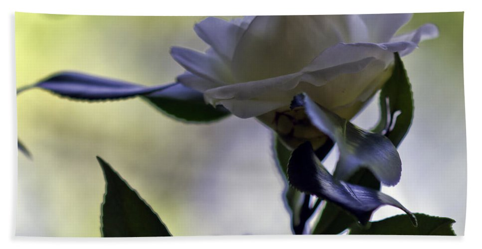 Camellia Beach Towel featuring the photograph Camellia One by Ken Frischkorn