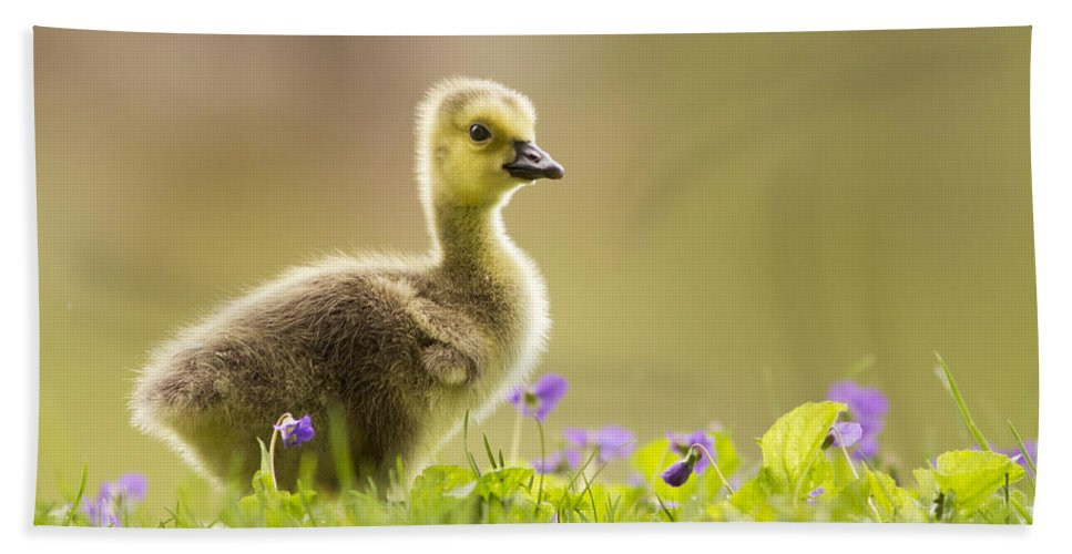 Canada Beach Towel featuring the photograph Canada Goose Baby by Mircea Costina Photography
