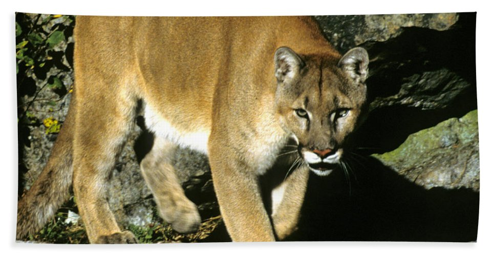Cougar Beach Towel featuring the photograph Canadian Cougar by Larry Allan