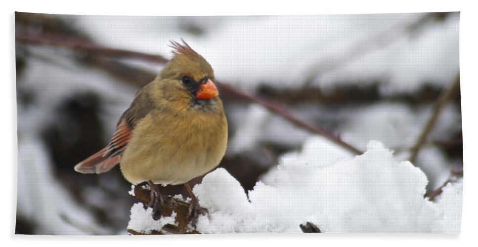 Adult Beach Towel featuring the photograph Cardinal Female 3679 by Michael Peychich