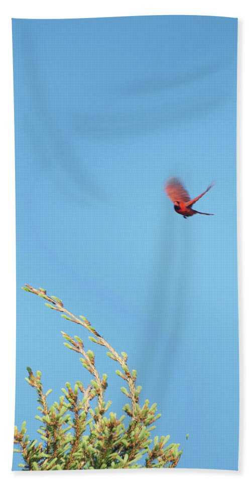 Animals Beach Towel featuring the photograph Cardinal In Full Flight Digital Art by Thomas Woolworth