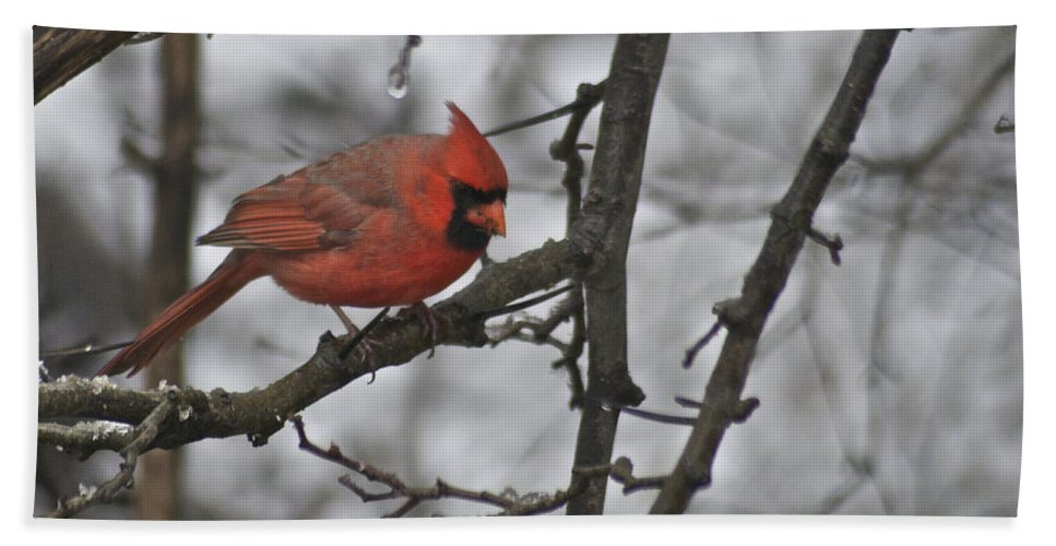 Adult Beach Towel featuring the photograph Cardinal Male 3666 by Michael Peychich