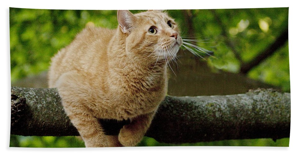 Art Beach Towel featuring the photograph Cat Hanging On A Limb by Randall Nyhof