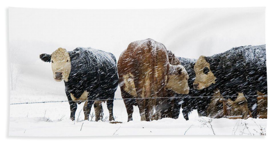 Cattle Beach Towel featuring the photograph Cattle In A Snowstorm In Southwest Michigan by Randall Nyhof