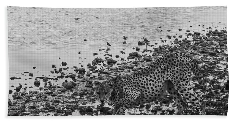 Africa Beach Towel featuring the photograph Cheetah Tip Toes For A Drink by Darcy Michaelchuk