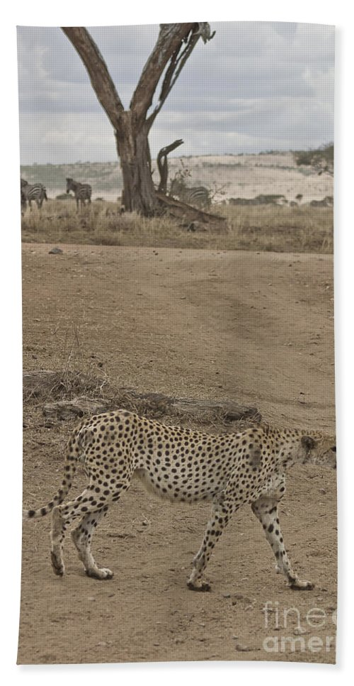 Africa Beach Towel featuring the photograph Cheetah Walks By On Looking Zebra by Darcy Michaelchuk
