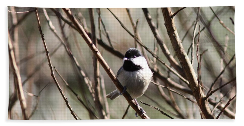 Nature Beach Towel featuring the photograph Chickadee Sunshine by Travis Truelove