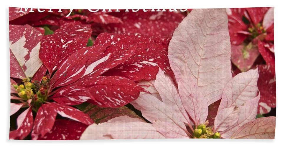 Christmas Beach Towel featuring the photograph Christmas Poinsettias by Michael Peychich