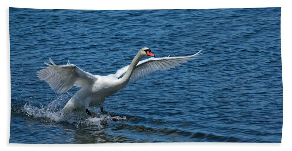 Swan Beach Towel featuring the photograph Clean Landing by Karol Livote