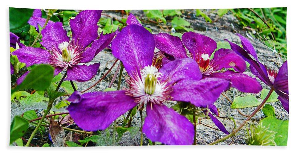 Purple Beach Towel featuring the photograph Clematis Abby Aldrich Rockefeller Garden by Lizi Beard-Ward
