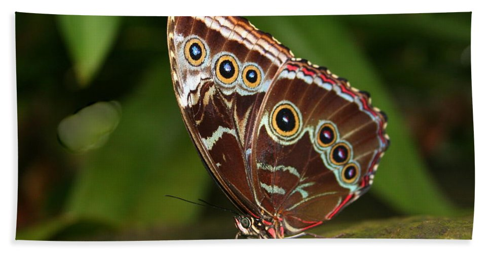 Morpho Peleides Beach Towel featuring the photograph Common Blue Morpho by Laurel Talabere