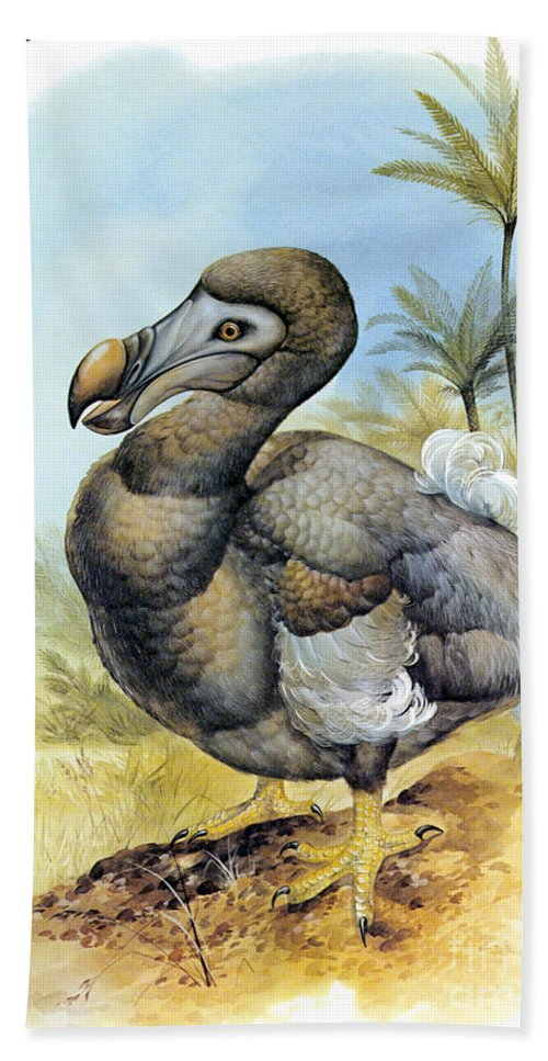 Dodo Beach Towel featuring the photograph Common Dodo by Photo Researchers