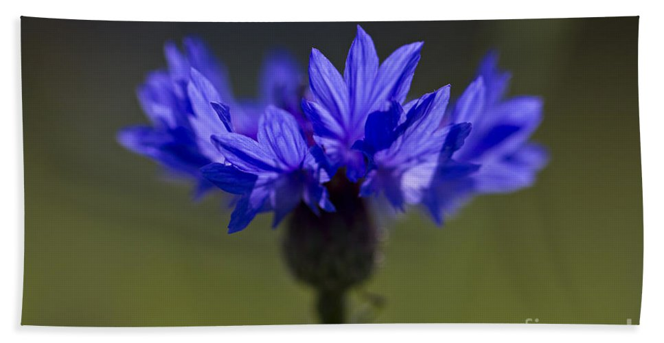 Cornflower Beach Towel featuring the photograph Cornflower Blue by Clare Bambers