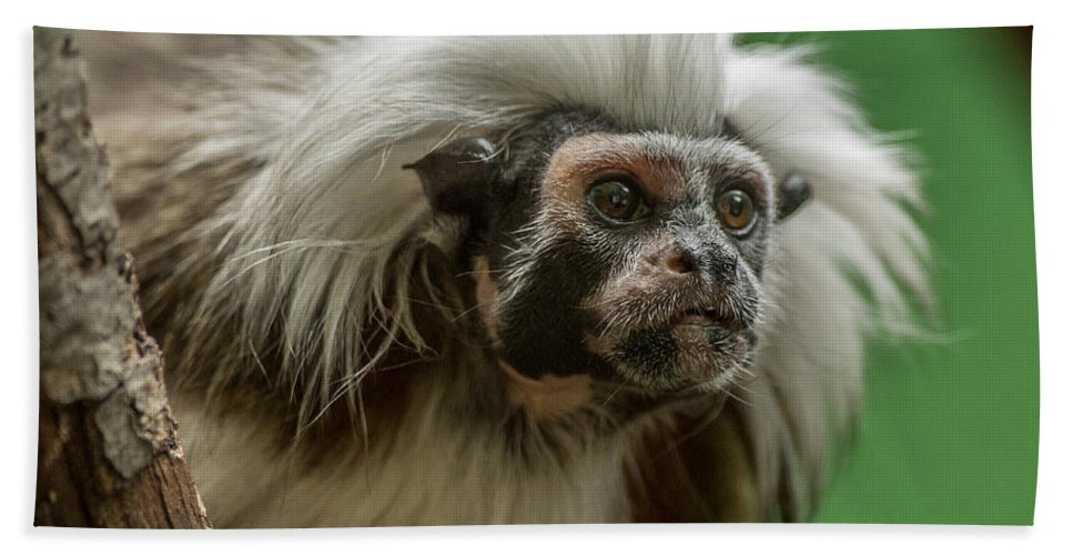 Cotton-top Tamarin Beach Towel featuring the photograph Cotton-top Tamarin by Greg Nyquist
