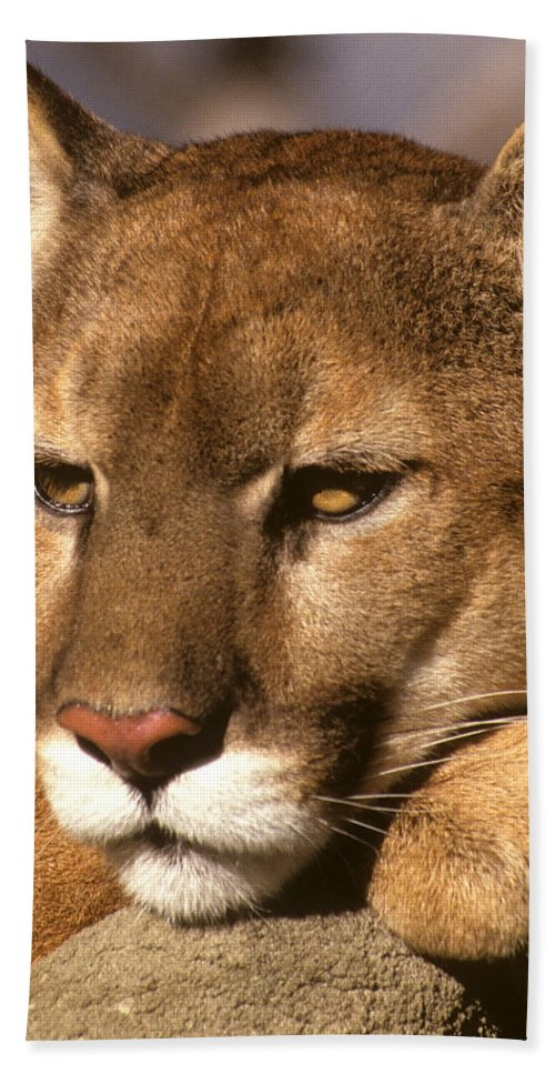 Cougar Beach Towel featuring the photograph Cougar Relaxing. . . by Larry Allan