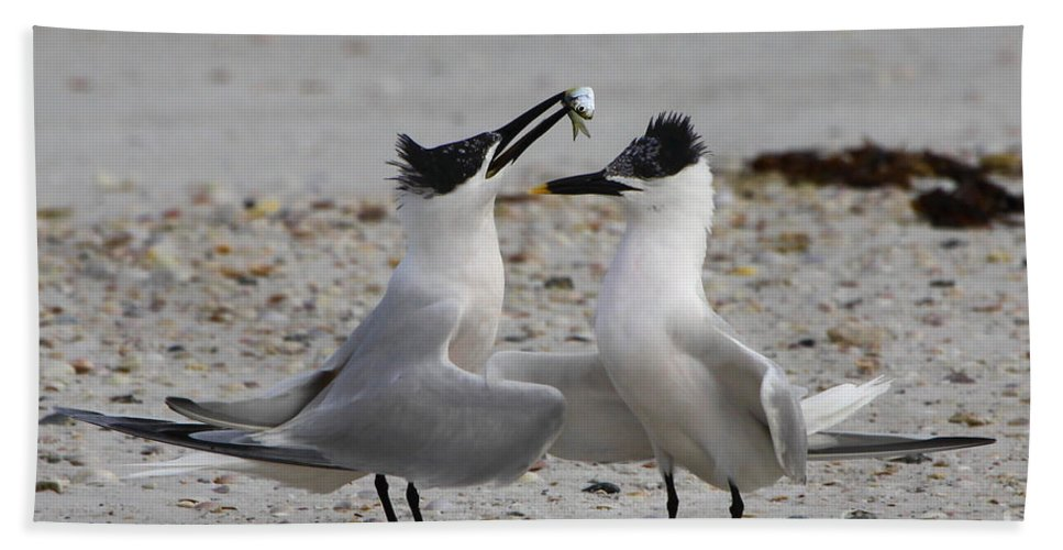 Sandwich Tern Beach Towel featuring the photograph Courtship by Barbara Bowen