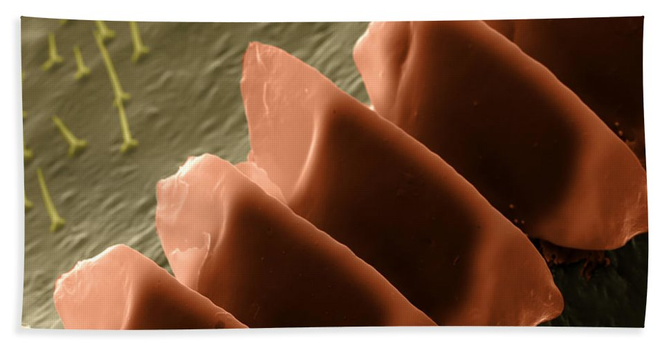 Field Cricket Beach Towel featuring the photograph Cricket Sound Comb, Sem by Ted Kinsman