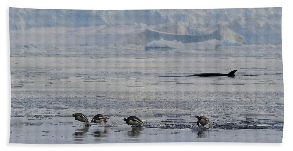 Gentoo Penguin Beach Towel featuring the photograph Crowded Shore by Tony Beck