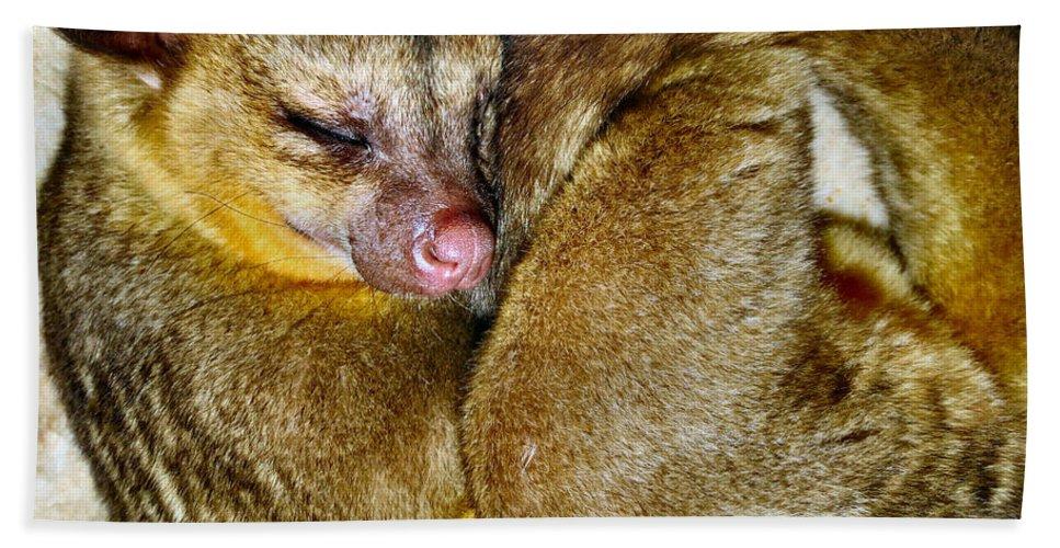 Kinkajou Beach Towel featuring the photograph Curled by Art Dingo