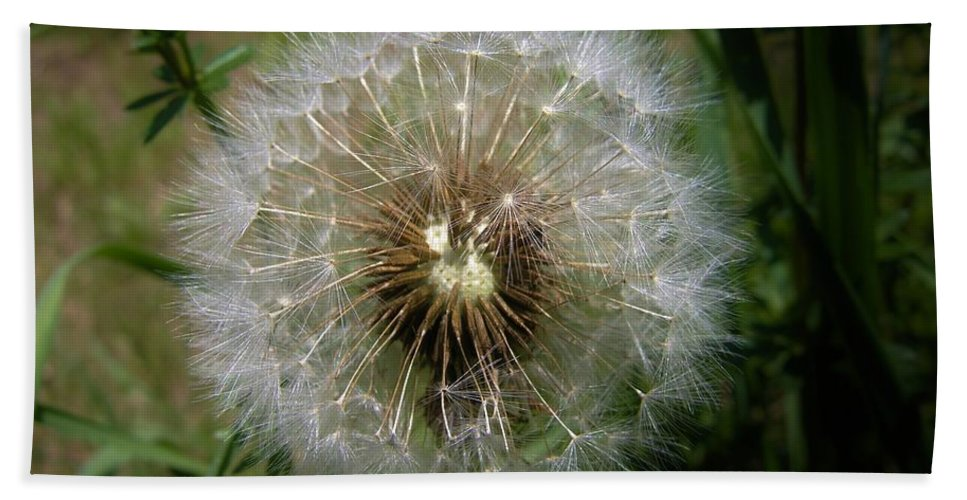 Dandelion Beach Towel featuring the photograph Dandelion Going To Seed by Sherman Perry